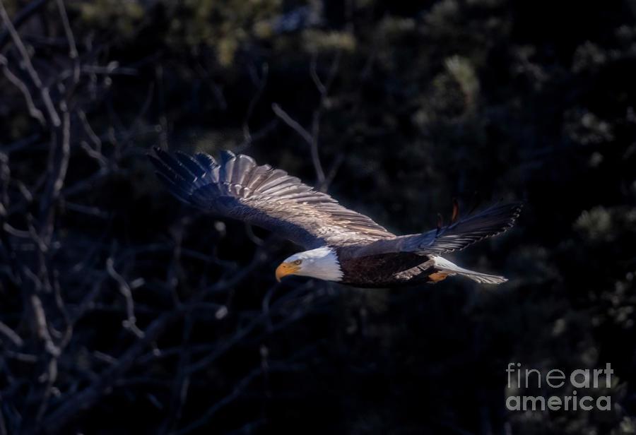 Soaring Eagle Photograph