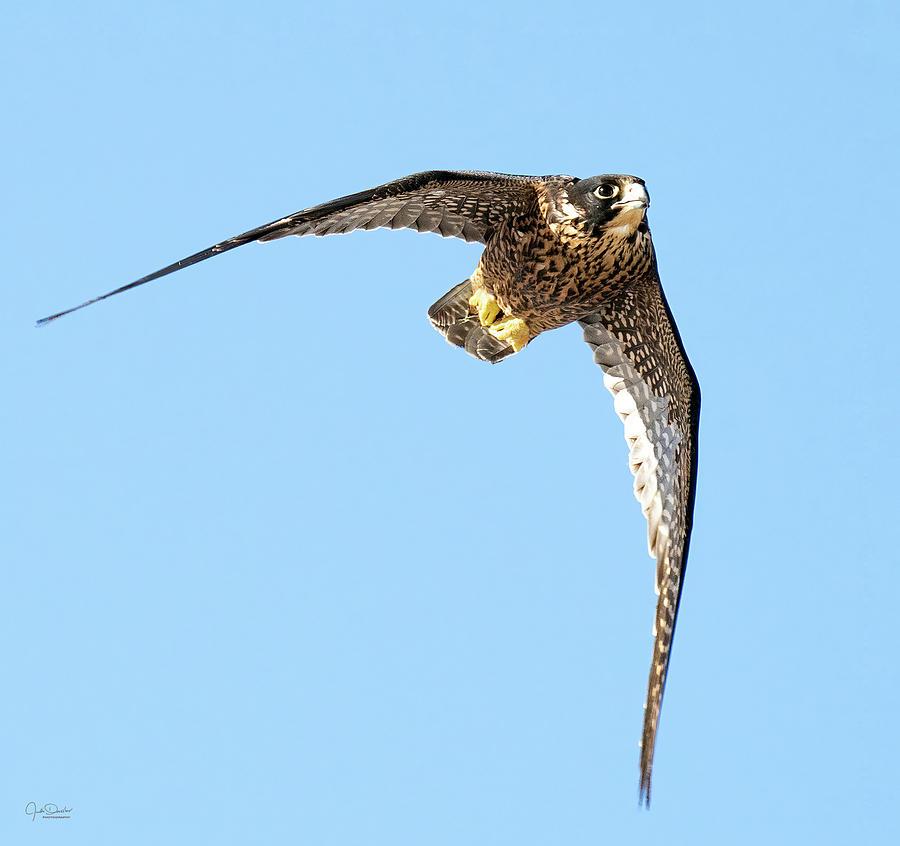 Soaring Peregrine Falcon by Judi Dressler