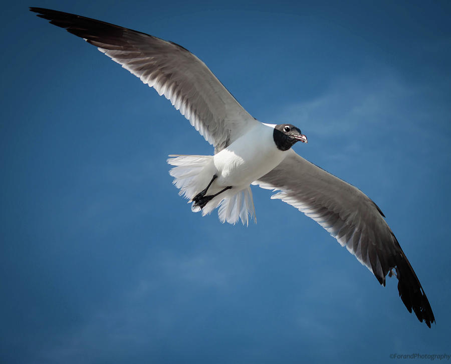 Soaring Seagull  by Debra Forand