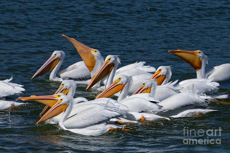 Social Pelicans Photograph