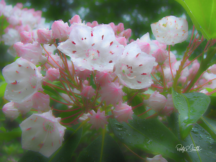 Soft art photograph of Connecticut Mountain Laurel. by Rusty R Smith