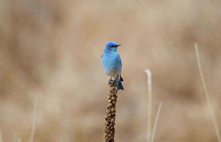 Solitary Bluebird Photograph
