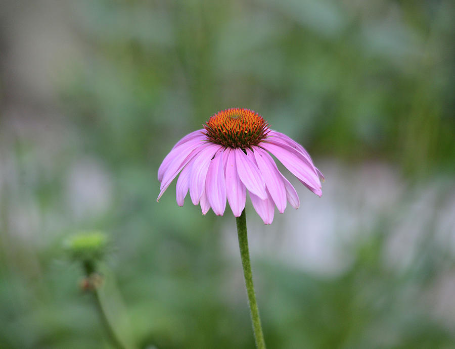 Solitary Cone Flower by Whispering Peaks Photography