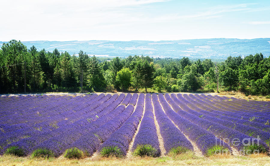 Song Of Lavender Field At Summer Photograph