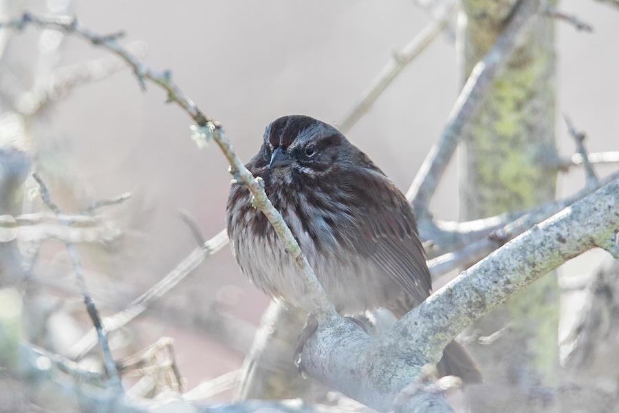 Song Sparrow Photograph