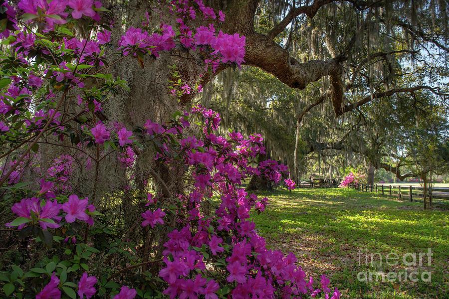 Southern Exposure - Magnolia Plantation Photograph