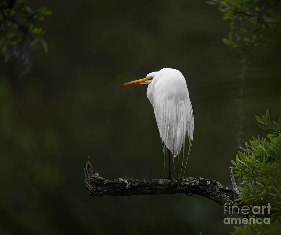 Southern Hunting - Great White Heron - Charleston Photograph