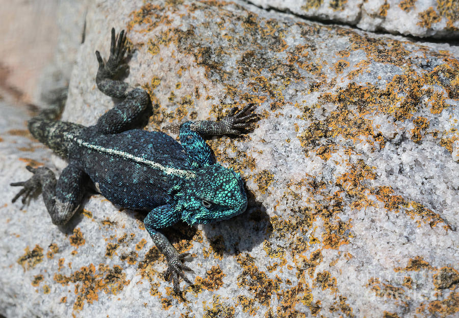 Southern Rock Agama by Eva Lechner