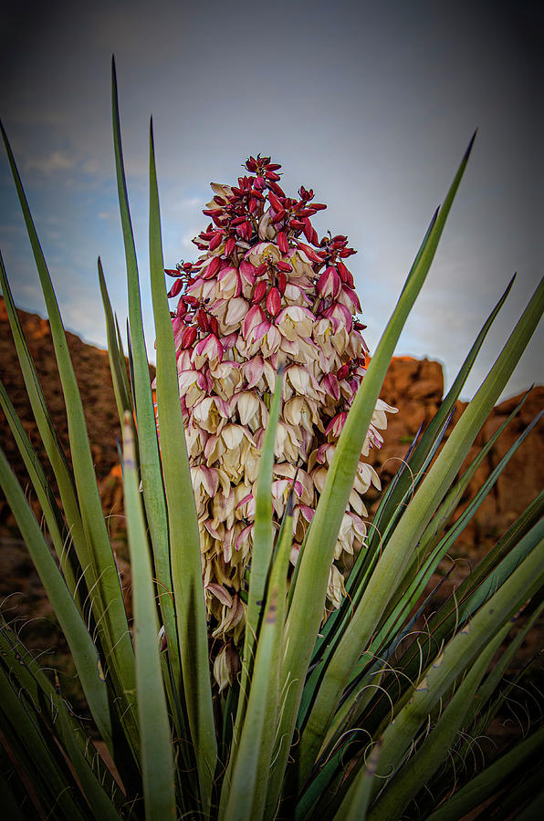 Desert Photograph - Spanish Dagger by Jim Cook