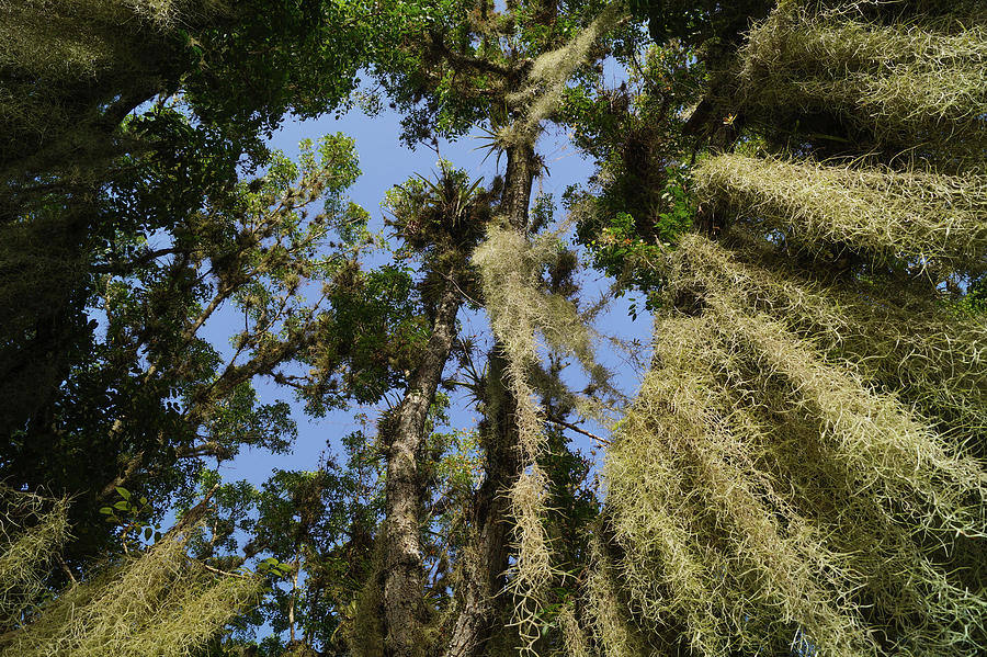 Spanish Moss In The Everglades Photograph