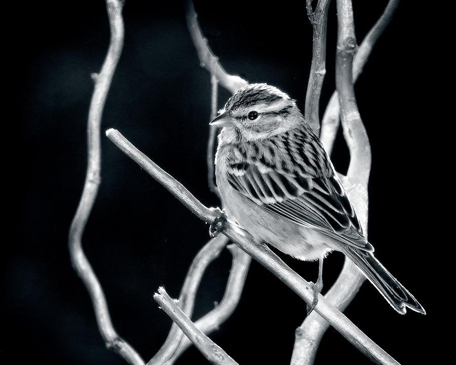 Sparrow At Sunset Photograph