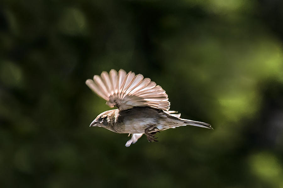 Sparrow Flight Photograph by Dethan Punalur