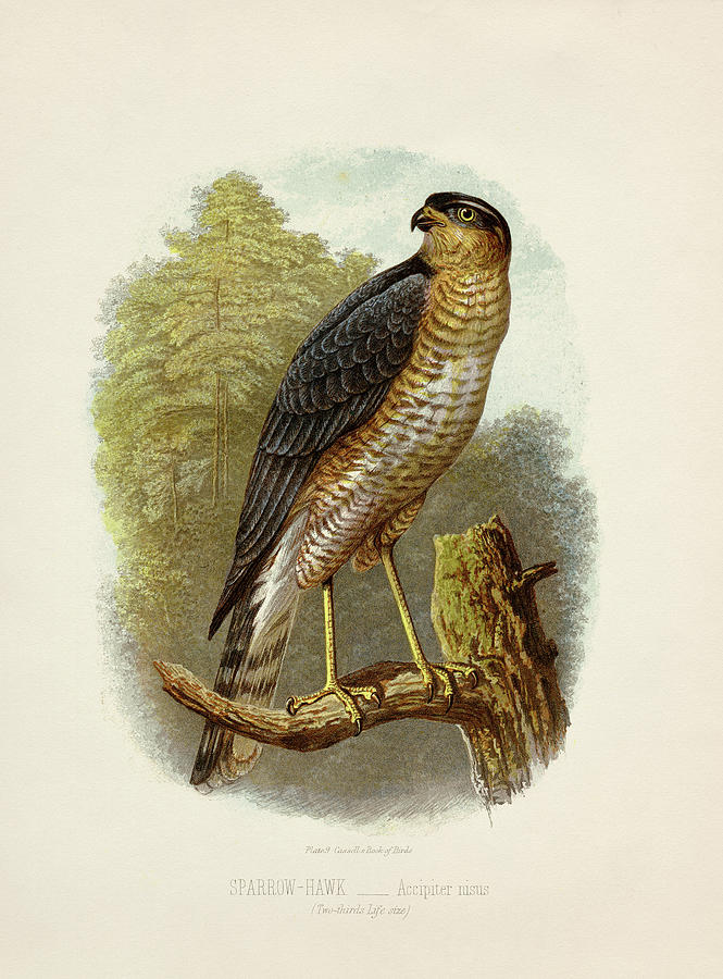 Sparrowhawk - Accipiter Nisus Painting