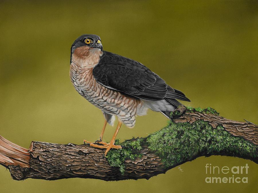 Sparrowhawk Bird Of Prey Painting