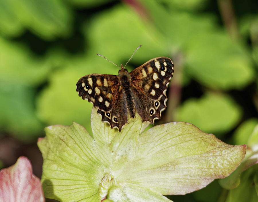 Speckled Wood Butterfly Photograph