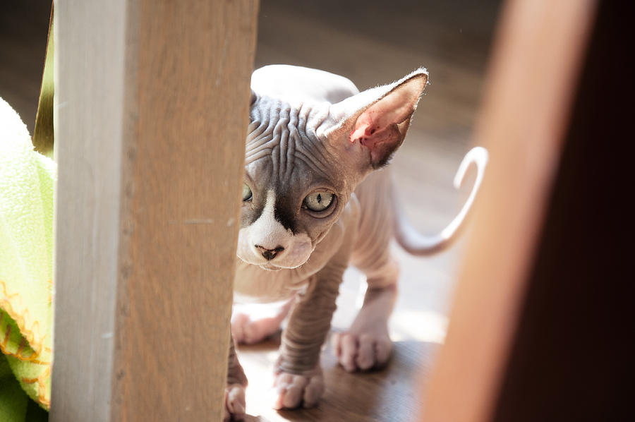 Sphynxcat kitten exploring the livingroom Photograph by By Wunderfool