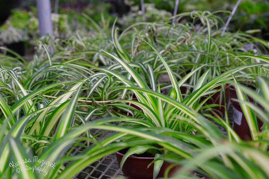 Spider Plant Heaven Photograph