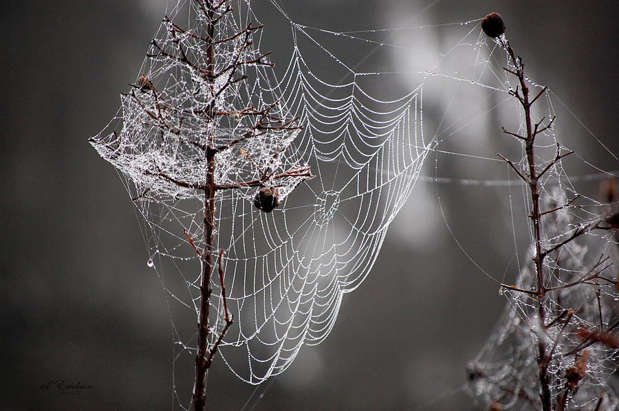 Spider Web Decorated Tree with the morning dew by RD Erickson