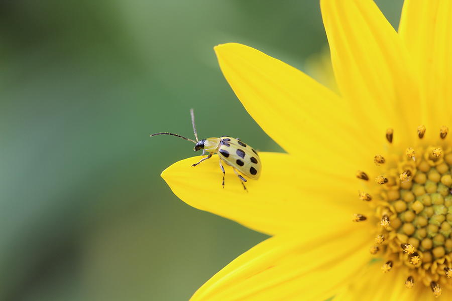 Spotted Cucumber Beetle Photograph - Spotted Cucumber Beetle by Callen Harty
