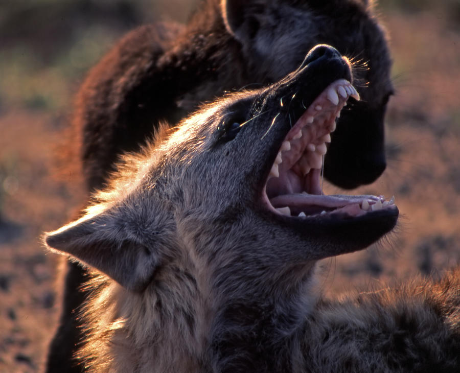 Spotted Hyena  Photograph by Giampaolo Cianella