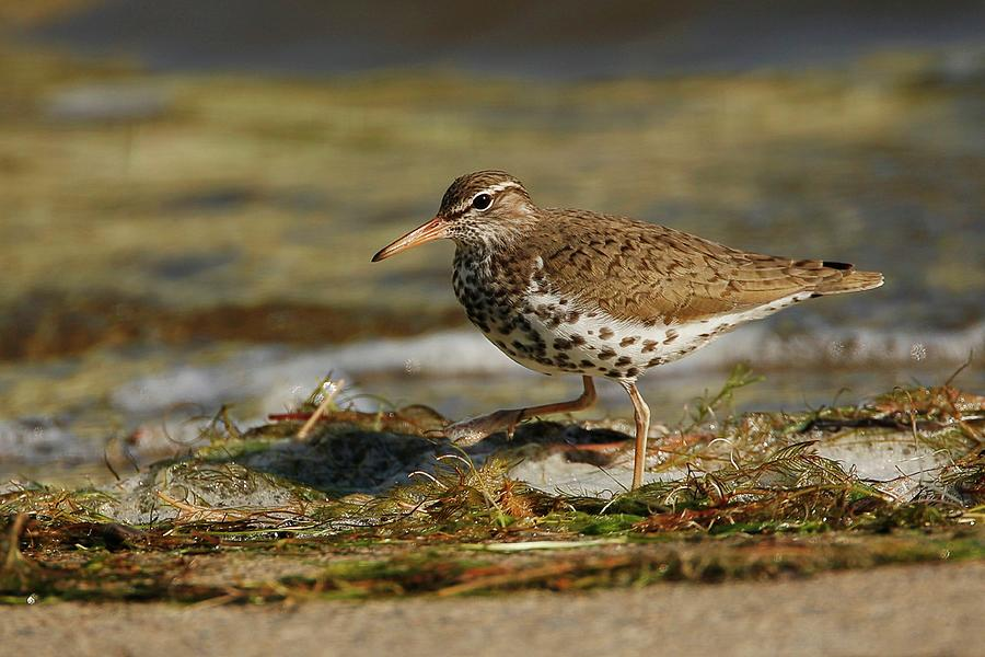 Spotted Sandpiper On Beach Photograph
