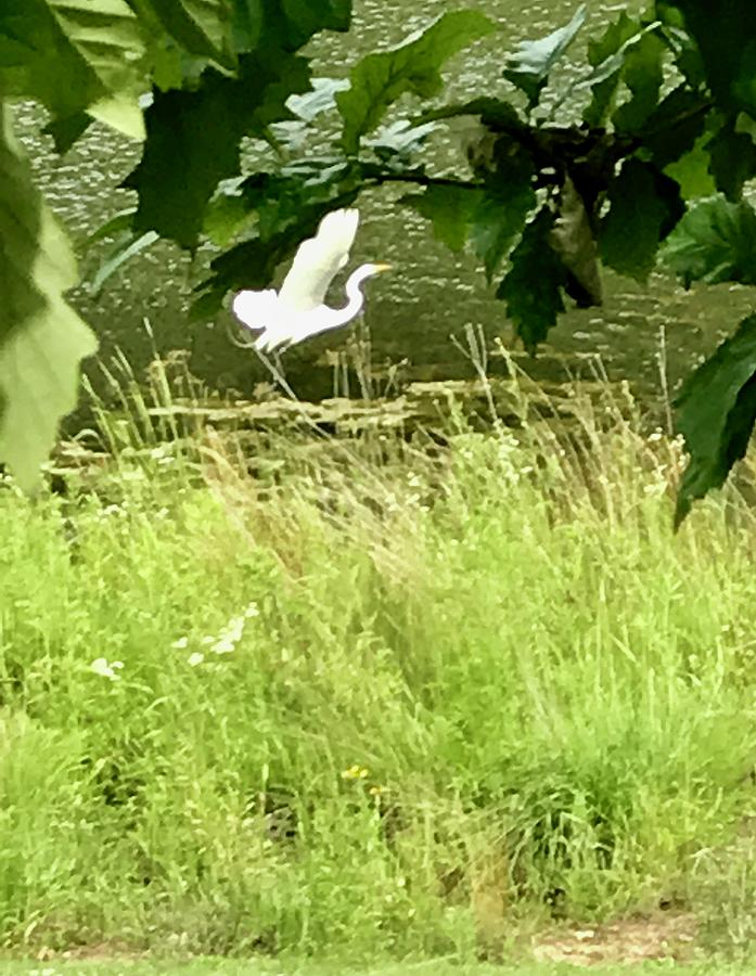 White Heron Photograph - Spread Your Wings by Diane Sleger