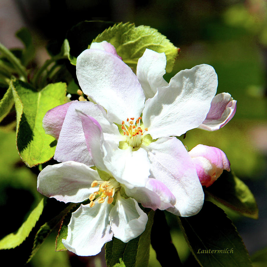 Apple Blossoms Photograph - Spring Apple Bossoms by John Lautermilch