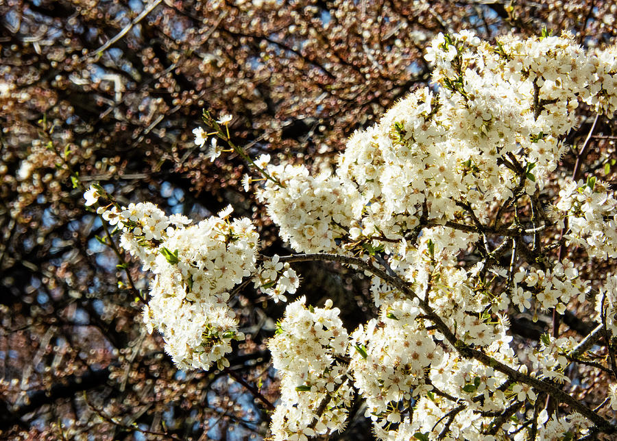 Spring Bloom In March Photograph
