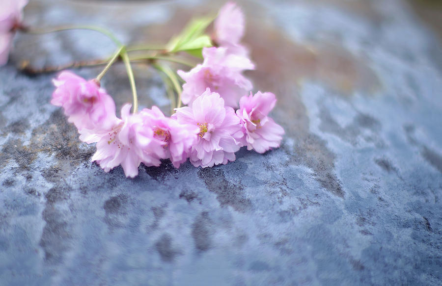 Spring Cherry Blossoms Photograph