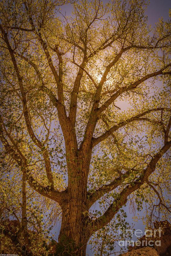 Spring Cottonwood Photograph