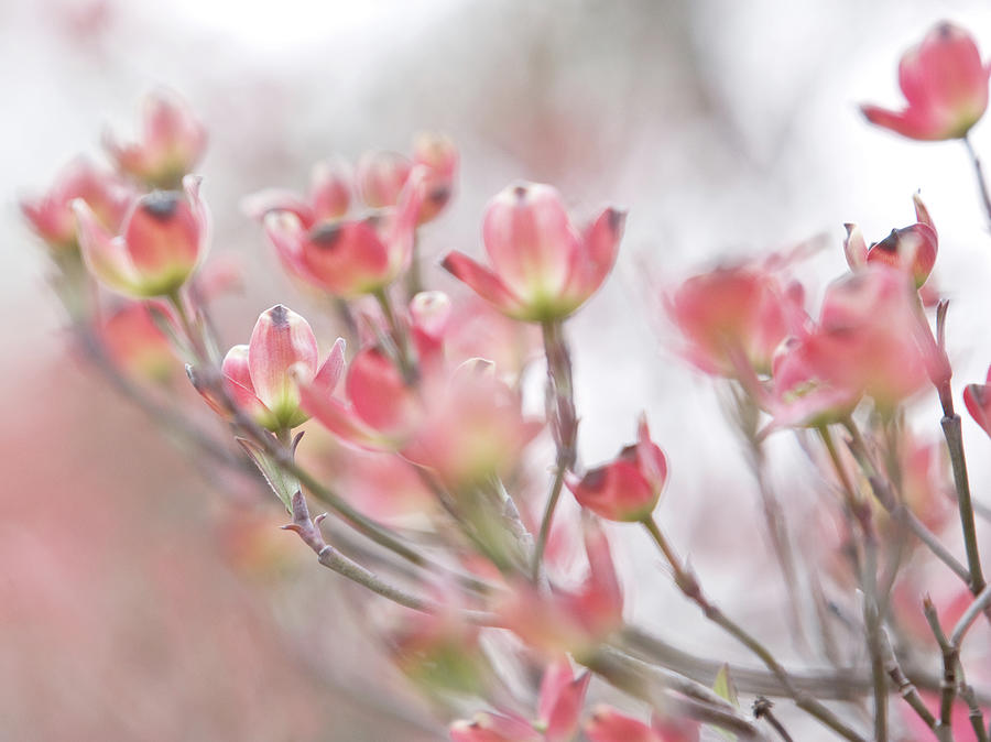 Spring Dogwoods Photograph