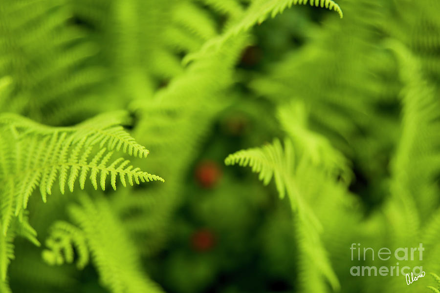 Spring Ferns In Maine Photograph Photograph