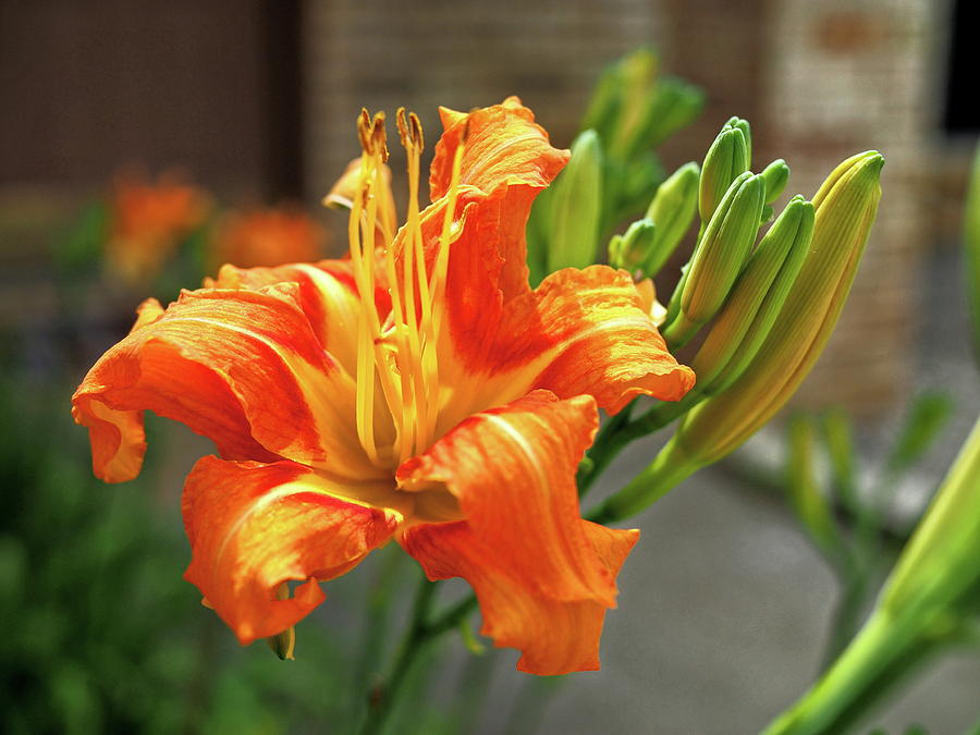 Orange Photograph - Spring Flower 14 by C Winslow Shafer
