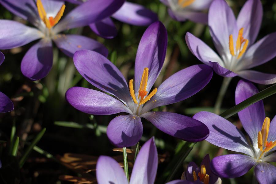 Spring Flowering Purple Crocus Photograph