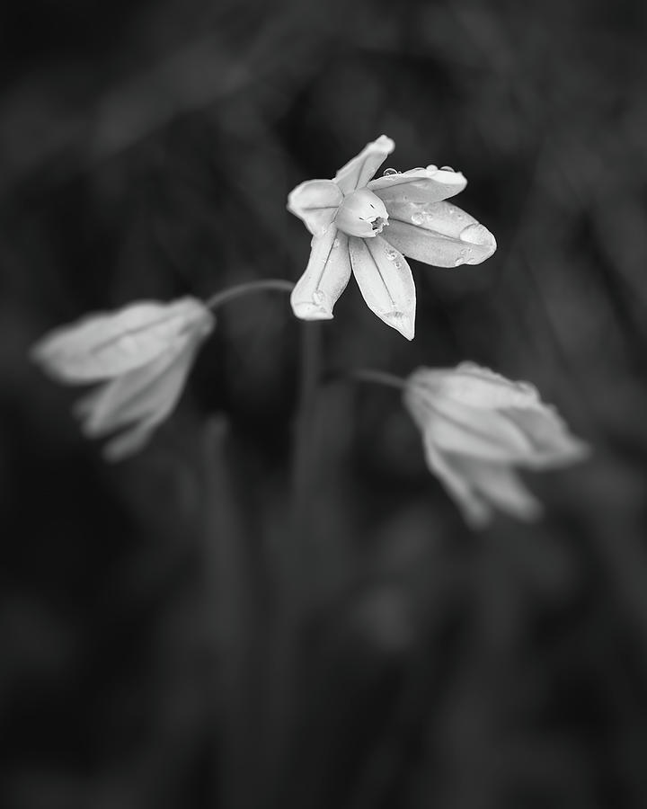 Spring Flowers In Black And White Photograph