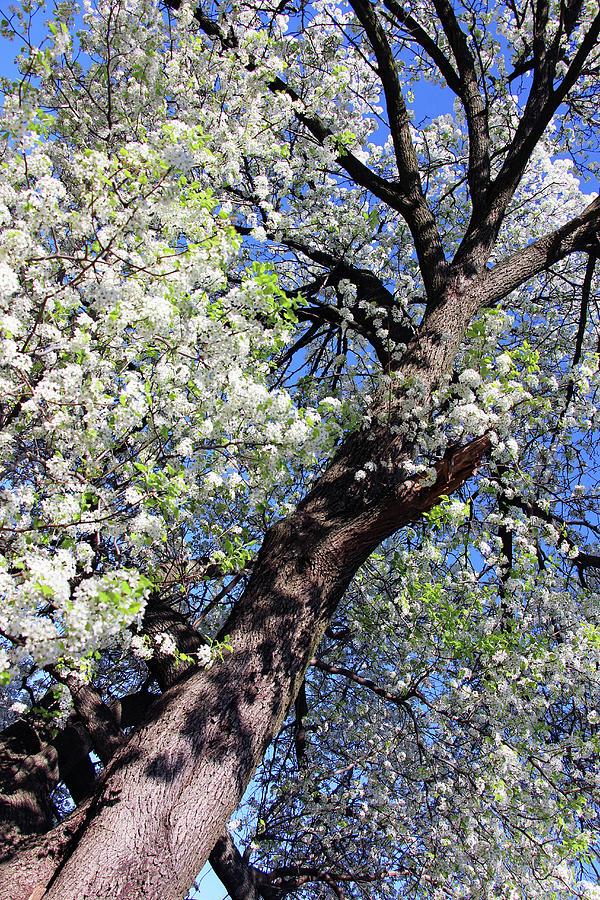 Dupont Circle Cherry Blossoms - 1a Photograph