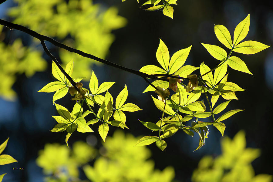 Spring Hickory Leaves Photograph