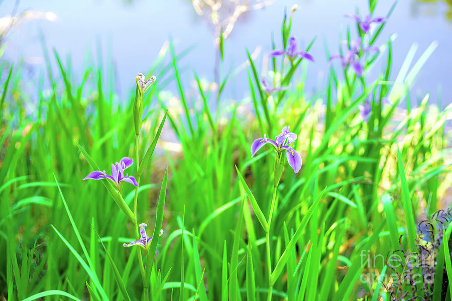 Spring Photograph - Spring In Florida, Wild Irises By The Water by Felix Lai