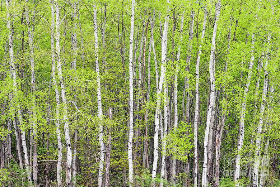Spring Poplar Woods Photograph