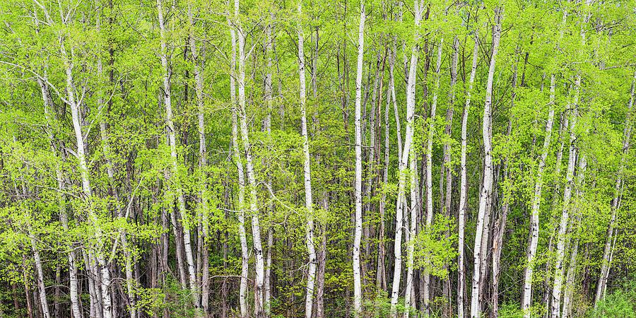 Spring Poplar Woods Panorama Photograph