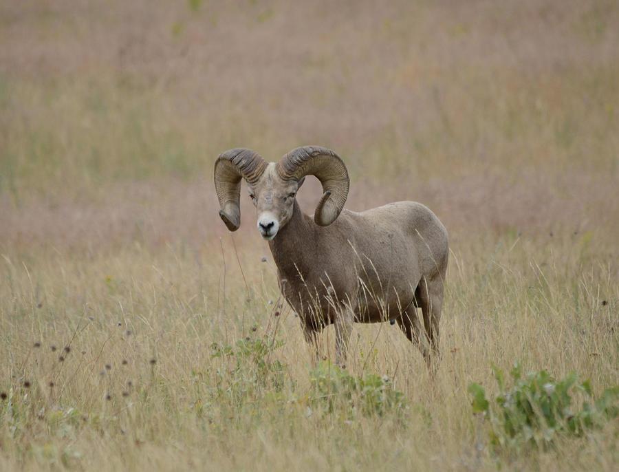 Spring Ram Photograph