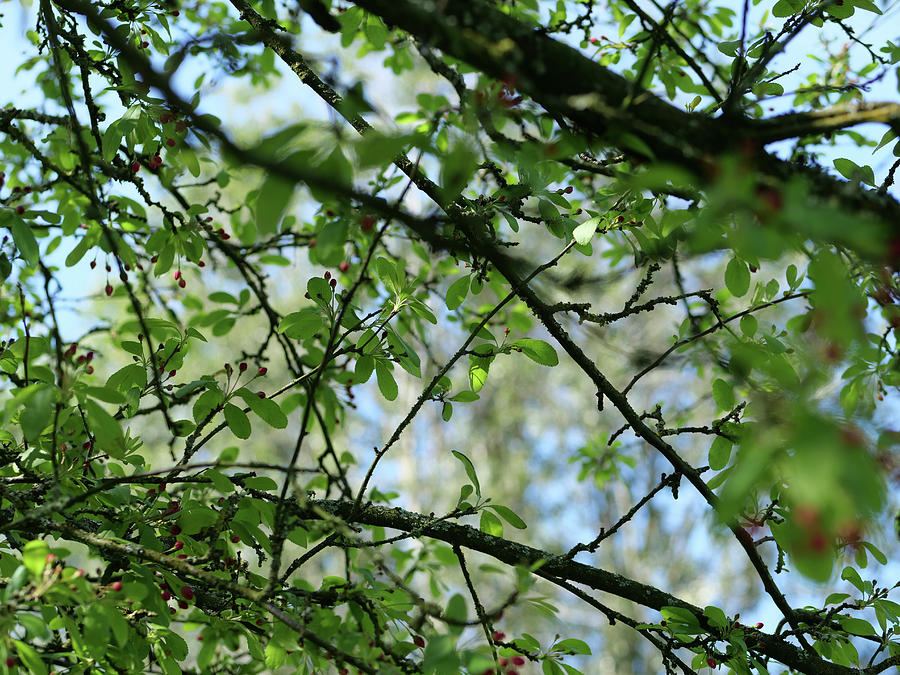 Spring Time - Tree Through The Leaves Photograph