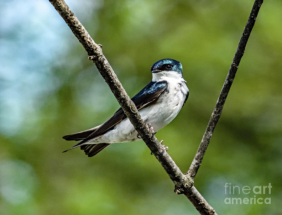Spring Tree Swallow Photograph