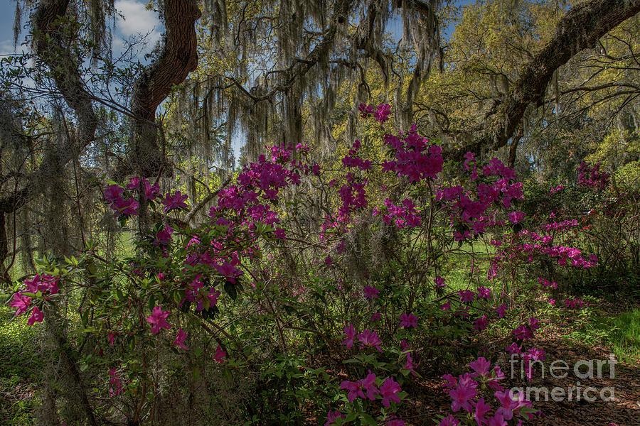 Spring Under The Oak - Magnolia Plantation Grounds Photograph