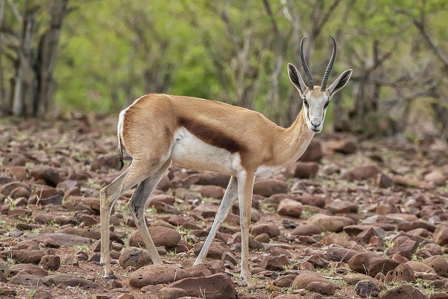 Springbok atop the Etendeka Plateau - Namibia by Belinda Greb