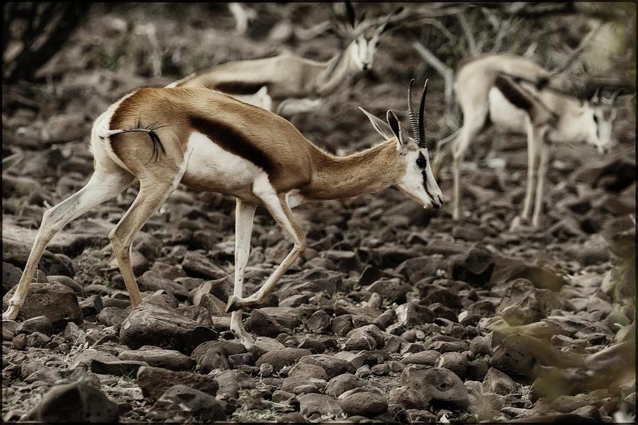 Springbok Stepping Over Rocks by Belinda Greb