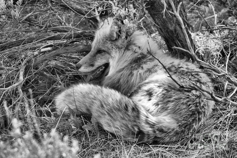Springtime Nap Black And White by Adam Jewell