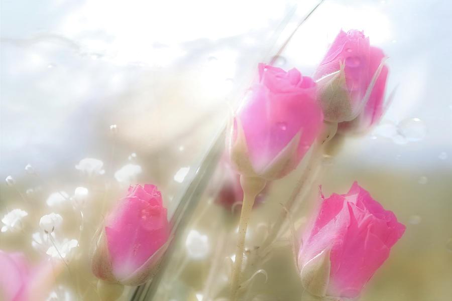 Springtime Roses Photograph