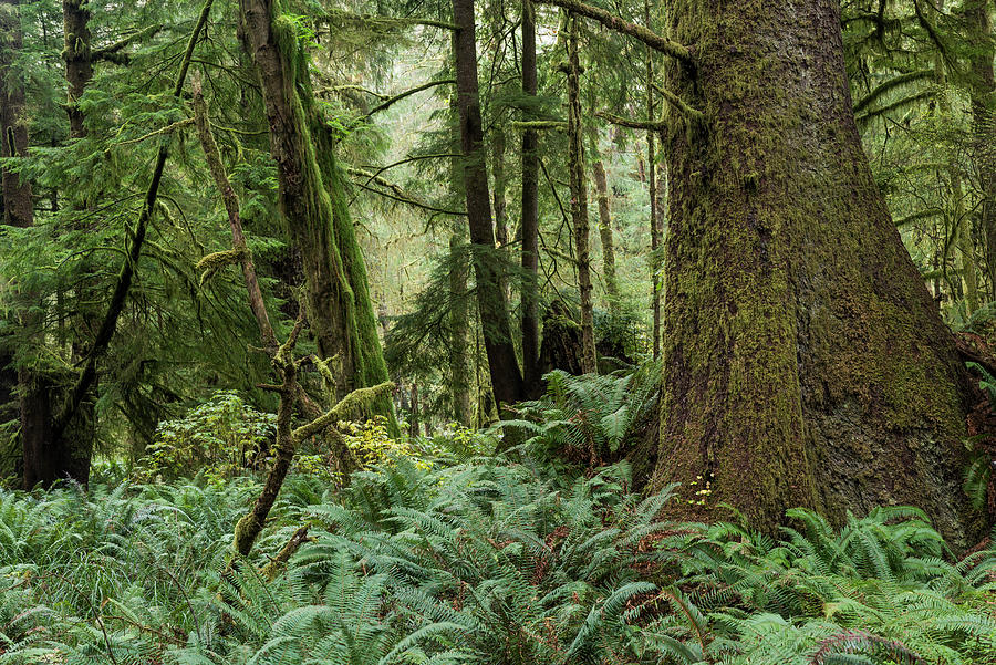 Spruce and Fern Forest by Robert Potts