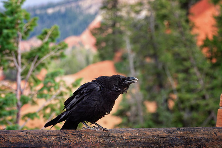Bryce Canyon National Park Photograph - Squacking for Lunch by Jack and Darnell Est